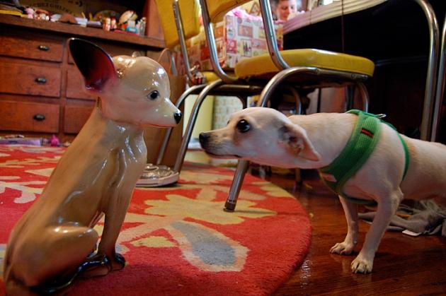 Chihuahua before a Mirror