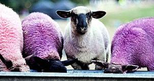 sheep at a trough