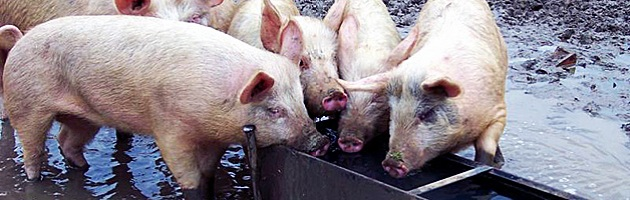pigs at a trough